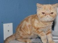 Exotic shorthair kitten, shorthaired version of the