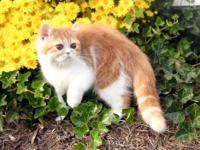 Art In Motion Persians has a female EXOTIC SHORTHAIR