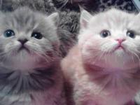 sweet Teacup Persian Kitten for Sale in Olathe, Colorado Classified ...
