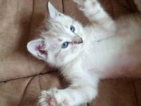Beautiful Seal Lynx marble kittens for sale. They grow