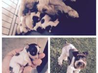 Adorable mini schnauzer puppies. 5 puppies total. Male
