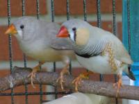 Beautiful, young zebra finches that you WON'T find in a