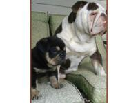 Last 3 Bulldogge/ Exotic Bully Puppies available,