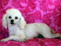 Expecting a litter of AKC Poodle Puppies in December