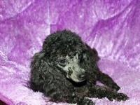 SOPHIE, my CKC black female toy poodle is expecting a