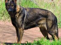 Expecting puppies mid-April. Sire (black sable, 3 years