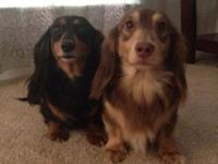I have 2 gorgeous Miniature dachshund females that are