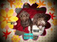 WE ARE EXPECTING F4 LABRADOODLES. THEY ARE DUE THE DAUY