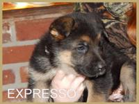 Expresso is a very good male german shepherd puppy. He
