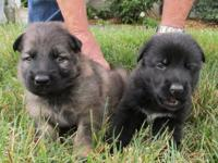Exquisite AKC German Shepherd puppies for sale. Rare
