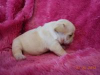 Champion Sired French Bulldog puppies have multiple