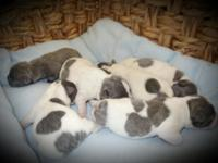 Absolutely Stunning, Quality French Bulldog Puppies.