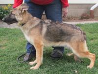 Exquisite older female sable German Shepherd pup for
