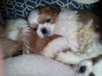 Definitely BEAUTIFUL Shih-Tzu puppies born on 1/31/14.