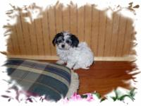 Description AdorableShipoo (Shihtzu-toy poodle) puppies