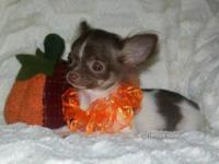 """Minnie"" is an extra small AKC long coat chihuahua"