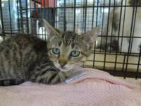 Extra - Toes Cat (Hemingway Polydactyl) - Bella - Small