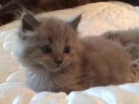 We have GORGEOUS Ragdoll kittens going fast! Impeccable