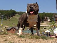 Reserve your purebred blue nose pitbull puppies today.