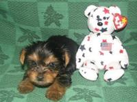 Extremely AKC Registered Yorkie Puppies I have 2 male
