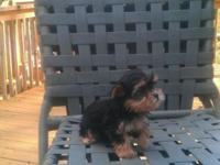 EXTREMELY TINY & COMPACT TEACUP MORKIES. CKC REGISTERED