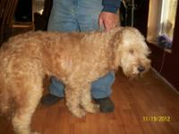 EXTREMELY CUTE FEMALE GOLDENDOODLE 3 YEARS OLD Very