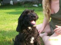EXTREMELY CUTE SPRINGERDOODLE PUP 12 WEEKS OLD Black