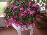 This Christmas cactus has bright pink (fuschia) blooms