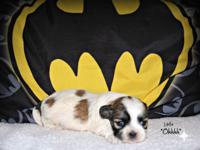 Extremely Small male Malti-tzu puppy that will be ready