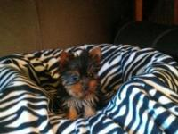 EXTREMELY TINY & COMPACT MICRO MALE YORKIES. THEY ARE 4