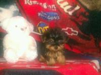 EXTREMELY TINY & COMPACT MICRO YORKIE MALE, HE IS