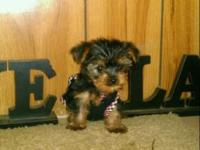 EXTREMELY TINY & COMPACT MICRO YORKIE MALE. I TOOK A