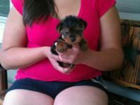 EXTREMELY TINY & COMPACT MICRO YORKIE-POO'S 13 WEEKS