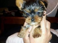 EXTREMELY TINY & COMPACT REAL MICRO YORKIE-POO'S 13