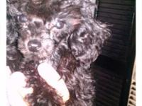 EXTREMELY TINY & COMPACT TEACUP POODLE HAS A BEAUTIFUL