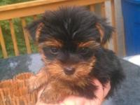 EXTREMELY TINY & COMPACT TEACUP YORKIE MALE. SO DAD'S