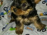 These are true teddy bear yorkie pups w/ short cobby