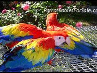 Extremely Large Central American Scarlet Macaw Babies
