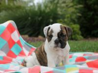 Meet Eyelash, a wrinkly English Bulldog puppy with a