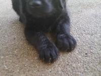 F-1 Black Male Labradoodle. Bear is so sweet and will