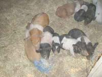 Feeder Pigs for sale. 7 barrows & 1 gilt, 7 wks old,