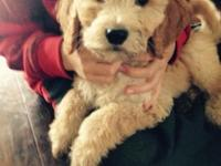 We have a male F1-b goldendoodle pup. He is very