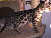 I have an f1 bengal up to date on shots and deworming