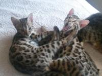 F1 Bengal male and female for sale. $1500 for both.