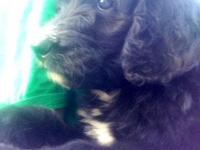1 little boy first generation bernedoodle. Puppy is