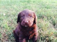 F1 Labradoodle ckc Puppies Dame: blond Lab. Sire: black