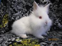 I have two, F1 Dwarf Lionhead babies that are still