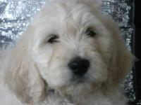 We have 2 litters of Beautiful English Teddy Bear