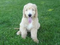 This Handsome Boy is a standard sized Goldendoodle. He