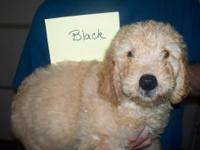 We have 3 F1 Goldendoodle pups available. They were